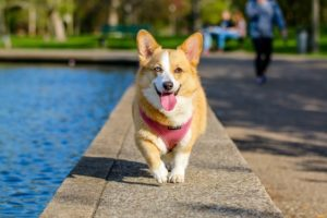 Happy Corgi puppy in Lemont ILL running toward camera